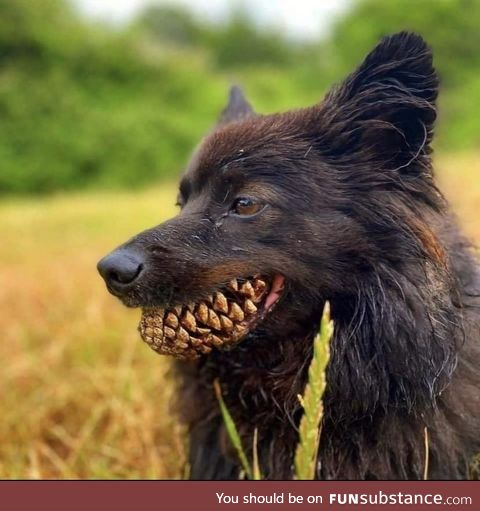 Dog with a Pinecone