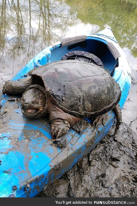Snapping turtle that's as wide as a kayak