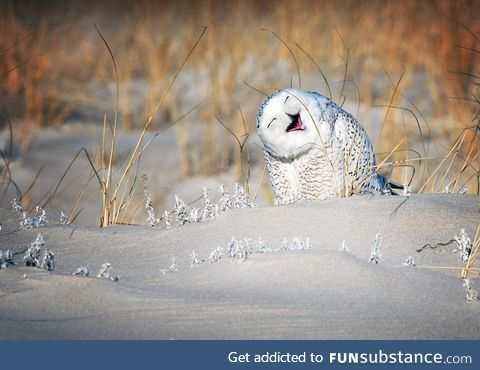 A snowy owl perches in the sand on Jones Beach in Long Island, New York