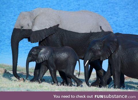 A Family of Elephants after a Swim!