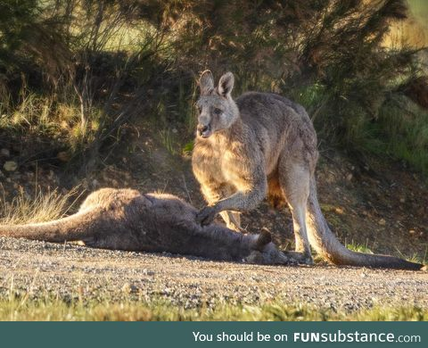 Kangaroo grieves over killed mate, the joey died in veterinarians later