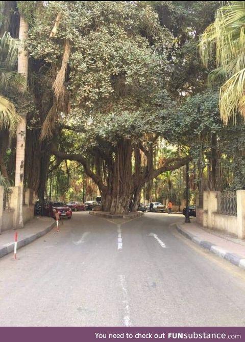 Beautiful tree in Cairo, Egypt