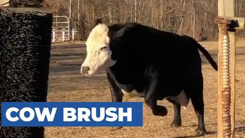 Happy Cows Playing With Their New Giant Brush [Wholesome]