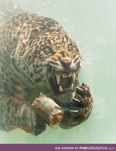 Jaguar dives to catch food; By photographer Herbert van der Beek