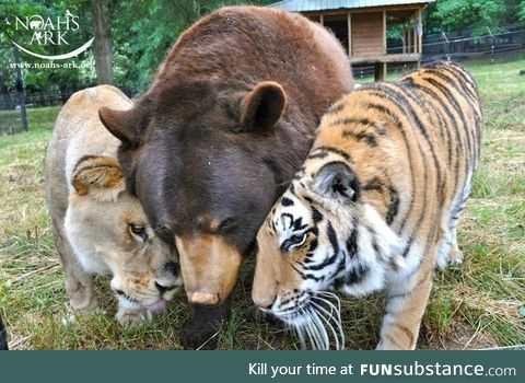 The BLT- a bear, a lion and a tiger that were rescued from the basement of a drug dealers