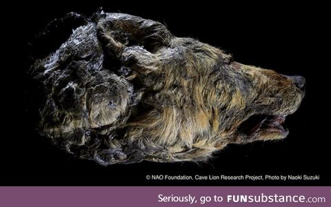 This head of a wolf is 30,000 years old. It was found preserved in the Siberian