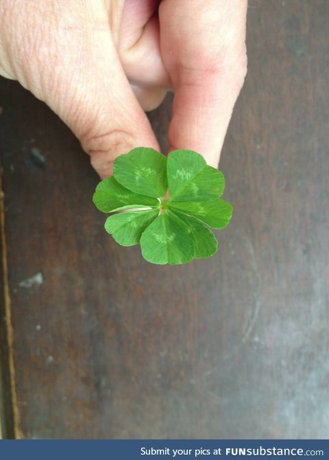 Here is a 7 leaf clover for good luck