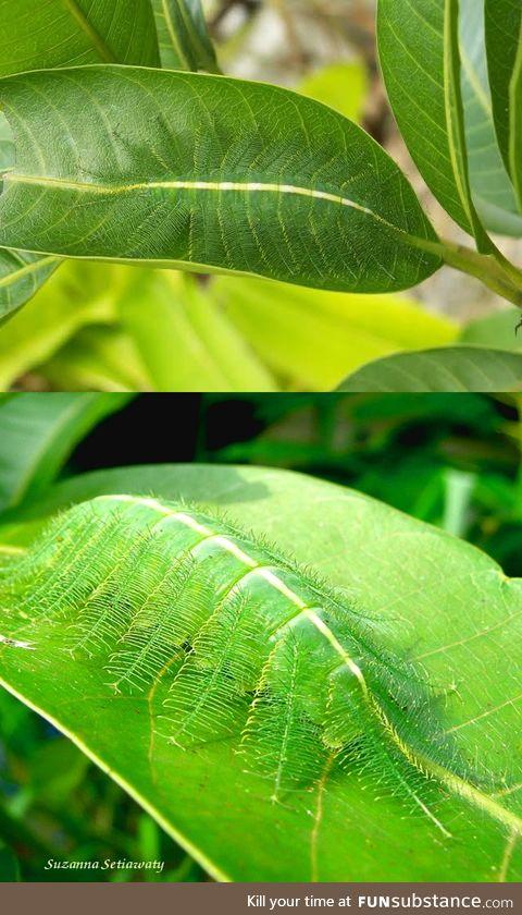 Common Baron caterpillar :O