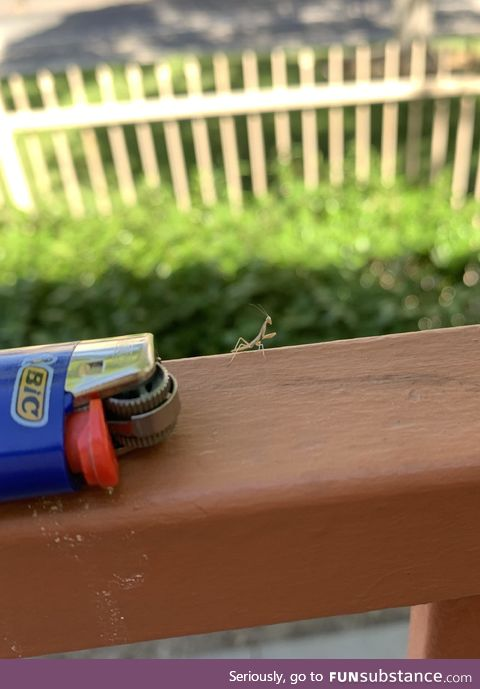 This tiny praying mantis