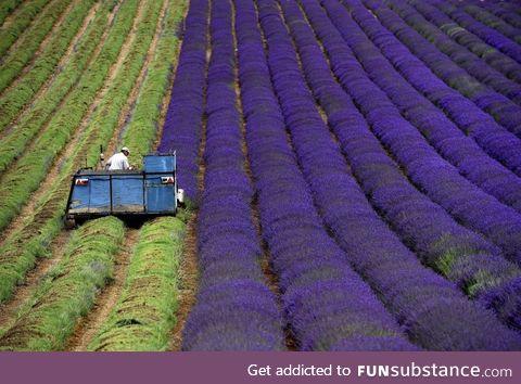 Harvesting lavender seems like a pretty great job