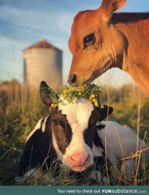 Calves being cute