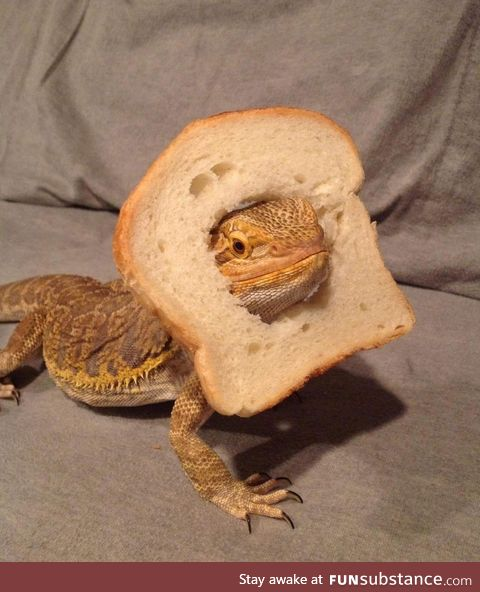 Check out this breaded dragon
