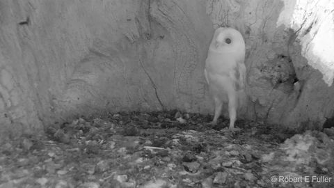 Oh no! We must protect barn owl baby at all costs!