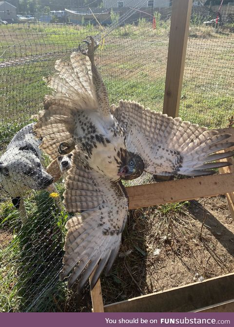 Derpy hawk gets caught breaking into coop and killing chickens