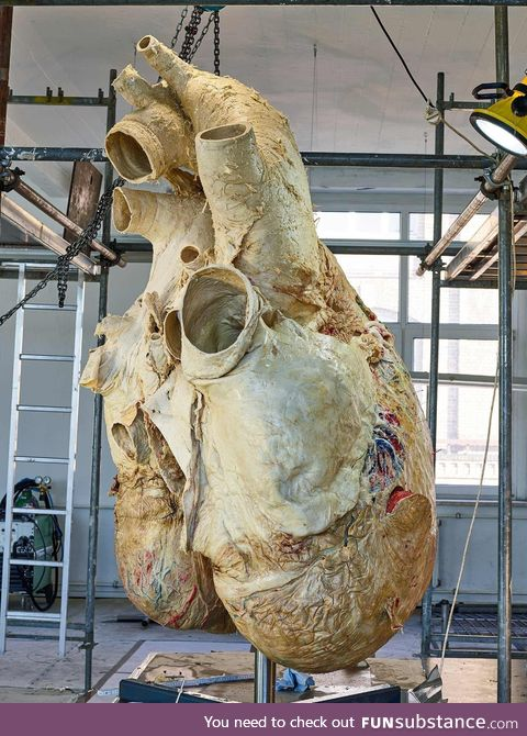 A 200 kg heavy blue whale heart
