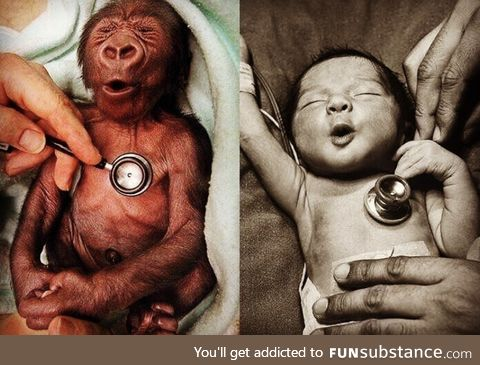 Baby human and baby gorilla reaction to a cold stethoscope