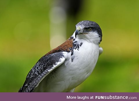 Ridiculously photogenic falcon