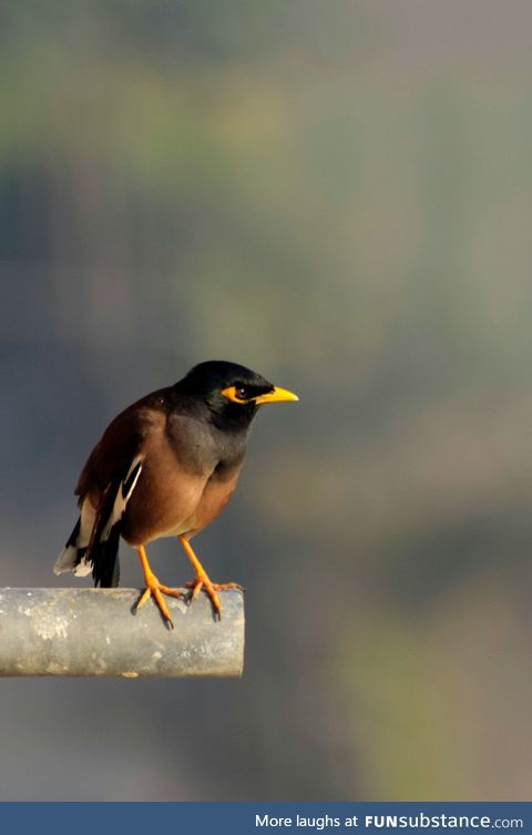 The common myna or Indian myna