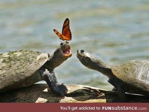 Butterfly On A Turtle's Head