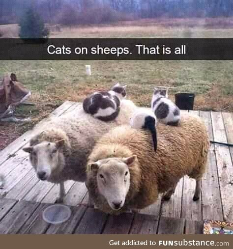 It's cats on sheep
