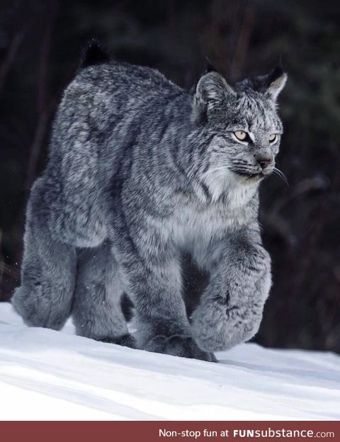 10% cat, 90% fluff... Hell yeah, it's a Canada Lynx!