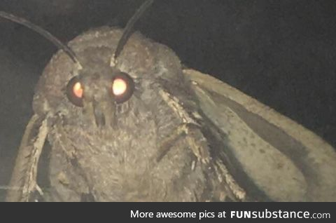 I see your moth and I raise you MY moth!
