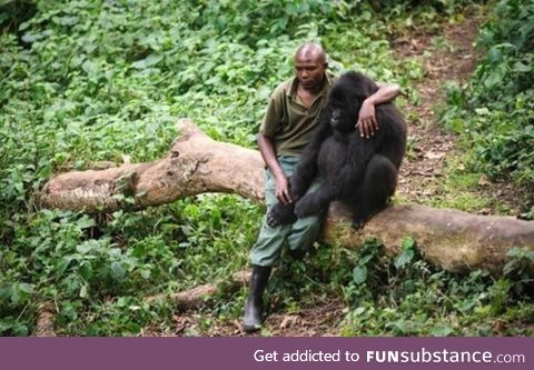 Park ranger comforts gorilla after it lost its mother. Gorilla understands the rangers