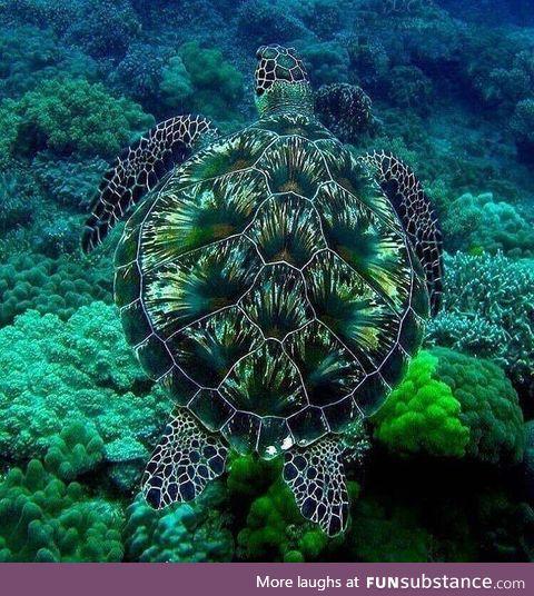 A green sea turtle born with beautiful camoflague