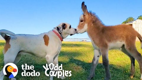 Colton the dog and Willow the baby donkey (FeelGoodSubstance)