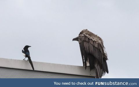 A vulture escaped from a zoo in the Netherlands and it was harassing some magpies in