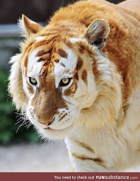 Majestic Golden Tiger (rare and endangered - fewer than 30 left on earth)