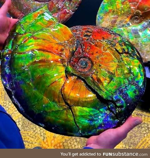 ???? opalized ammonite fossil
