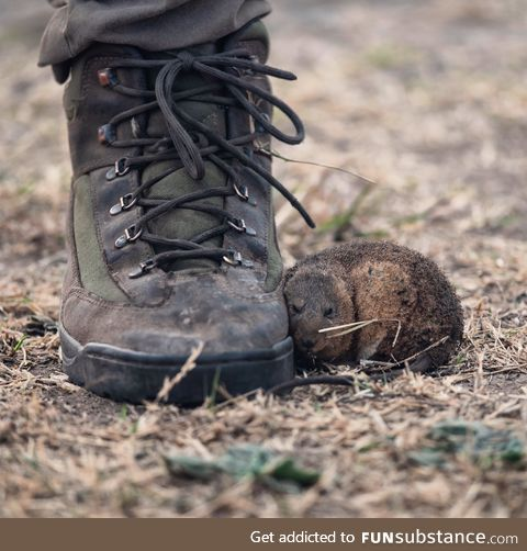 A rat fleeing from devastating wildfires in Argentina takes refuge at a firefighter's feet