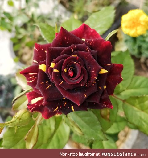 The beautifully unique red rose