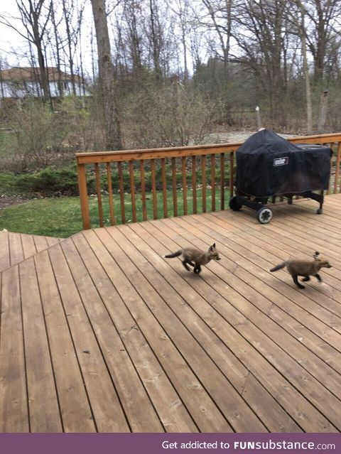 Baby foxes get the zoomies, too