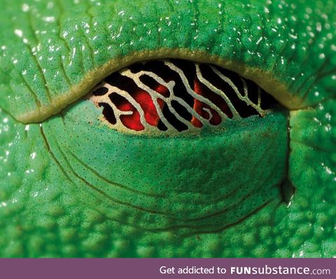 The eye of the Red-eyed tree frog