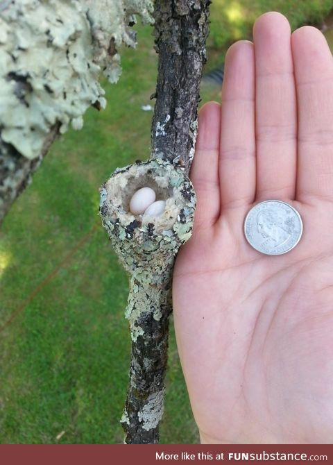 A hummingbirds nest is just slightly larger than a quarter!