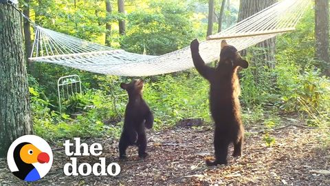 Bears playing in Bath and on Hammock