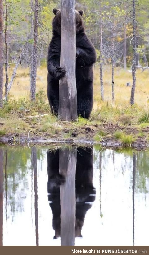 The North American Brown Bear is know for it's remarkable ability to camoflouge itself