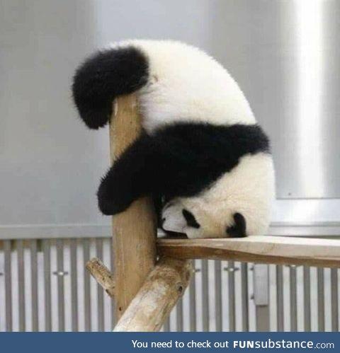 Nothing cuter than a bored baby panda