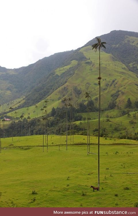 Palm trees in Cocora Valley, Colombia. Horse for scale