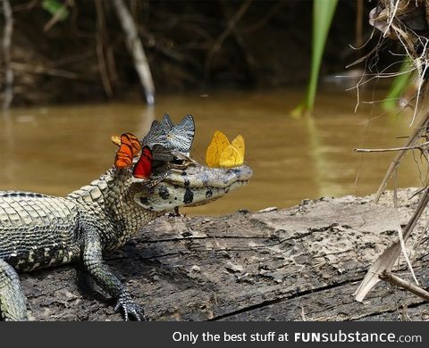 The most fabulous caiman in the world