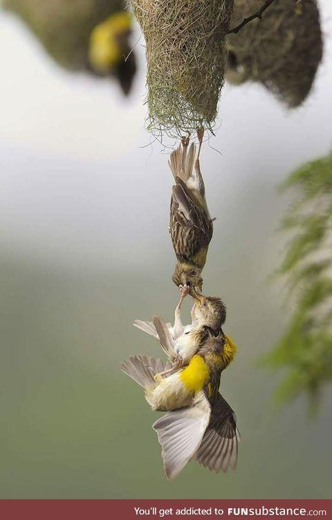 Birds hoisting a fledgling back into the nest
