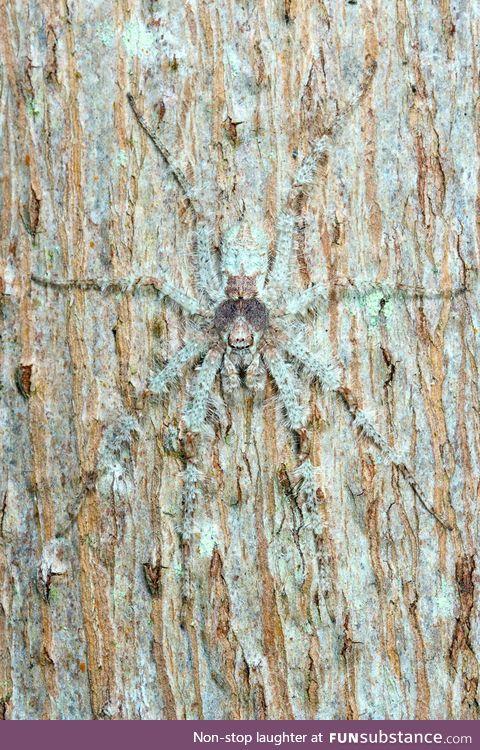 The Lichen Huntsman spider