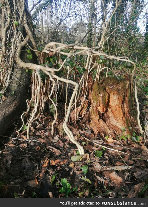 Treesubstance part 1. This is ivy (hedera helix) that had grown over an old treestump