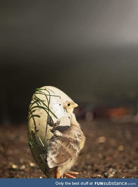 A chick wearing his egg shell as a hat