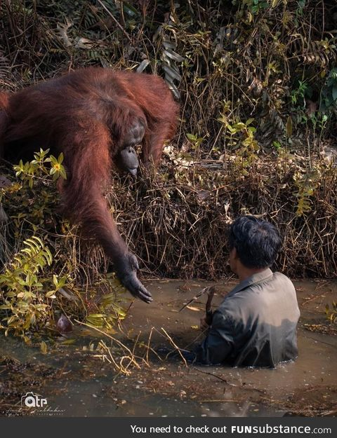 This orangutan helping a man get out of snake-infested waters. Pic credit : Anil