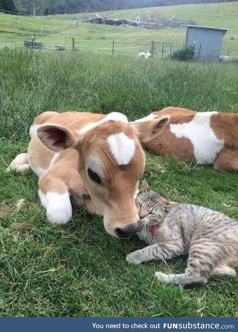 Moo with meow