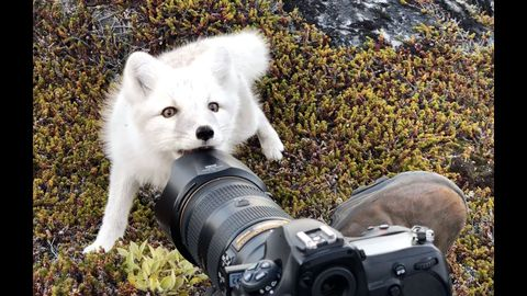 Young white arctic fox in greenland