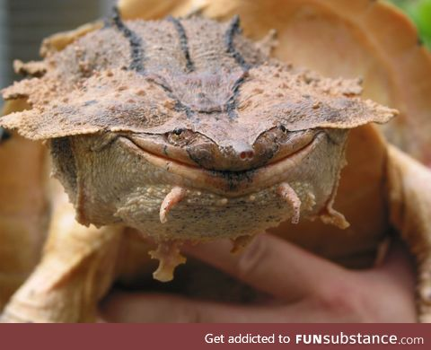 Scientists have discovered a new species of Mata mata turtle in South America